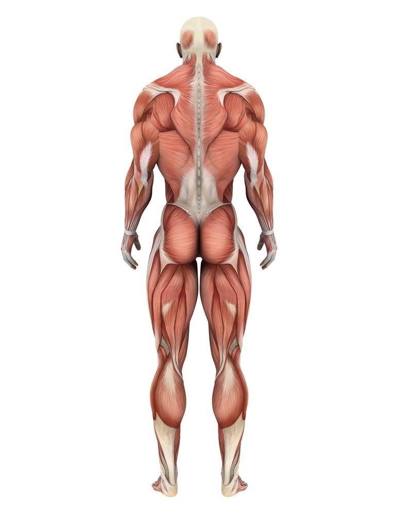Könnten Muskelprobleme helfen, die Bewegungen von Huntington ...
